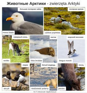 zwierzęta po rosyjsku Arktyka
